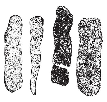 distal: Moldes granulares, ilustración de la vendimia grabado.