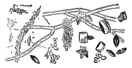 Crystals of uric acid, vintage engraved illustration. Ilustração