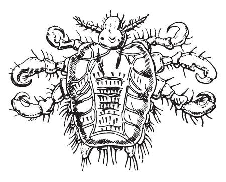 pubis: Pediculus pubis, vintage engraved illustration. Illustration