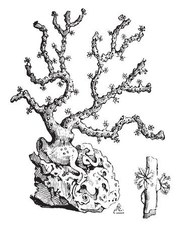 Koraal tak, vintage gegraveerde illustratie. Industriële encyclopedie E.-O. Lami - 1875.