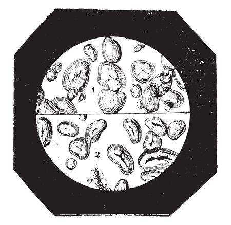 カリ、ビンテージの刻まれた図で膨らませロースト堅果のデンプン。産業百科事典 e. o.ラミ - 1875年。