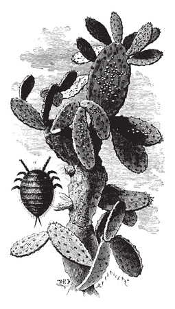 cactus species: Nopal cactus charge mealybugs, vintage engraved illustration. Industrial encyclopedia E.-O. Lami - 1875. Illustration