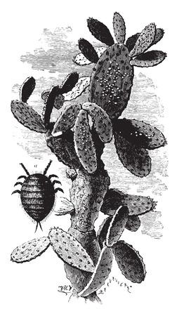 Nopal cactus charge mealybugs, vintage engraved illustration. Industrial encyclopedia E.-O. Lami - 1875. Ilustração