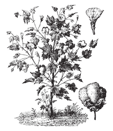 Cotton, its flower and seeds wrapped in their blankets, vintage engraved illustration. Industrial encyclopedia E.-O. Lami - 1875.