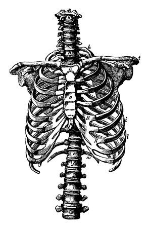 costilla: Columna vertebral y caja torácica derechos, ilustración de la vendimia grabado. La Vie dans la nature, 1890. Vectores