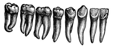 molares: Los dientes humanos, ilustración de la vendimia grabado. La Vie dans la nature, 1890.
