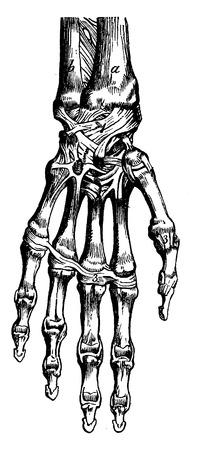 Skeleton of the human hand, vintage engraved illustration. La Vie dans la nature, 1890.