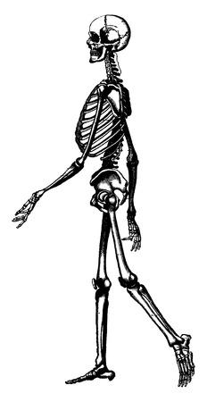 esqueleto: Esqueleto del hombre, ilustración de la vendimia grabado. La Vie dans la nature, 1890. Vectores