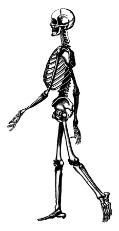 occipital: Skeleton of man, vintage engraved illustration. La Vie dans la nature, 1890.