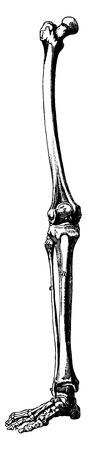 Skeleton leg, vintage engraved illustration. La Vie dans la nature, 1890.