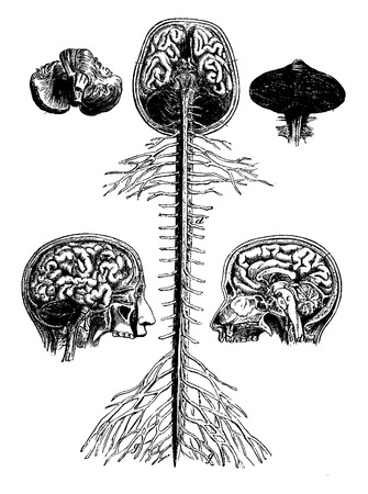 etchings: Encephala and spinal cord, brain, longitudinal section of the head, cerebellum, vintage engraved illustration. La Vie dans la nature, 1890.