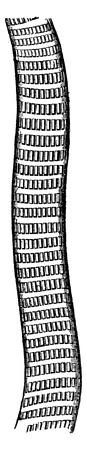 muscle fiber: Striated muscle fiber for a very high magnification, vintage engraved illustration. La Vie dans la nature, 1890.
