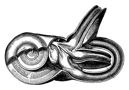 vestibule: Inner ear, vintage engraving.
