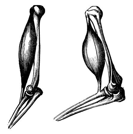 forearm: The biceps before and after contraction, vintage engraved illustration. La Vie dans la nature, 1890. Illustration