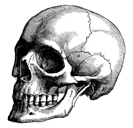 calavera: Esqueleto de la cabeza humana, ilustración de la vendimia grabado. La Vie dans la nature, 1890.