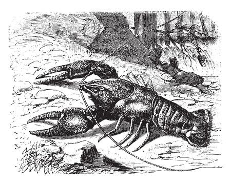Écrevisses, illustration vintage gravé. La Vie Dans La nature 1890. Vecteurs