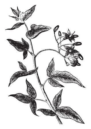 Bittersweet or solanum dulcamara, vintage engraved illustration. La Vie dans la nature, 1890.