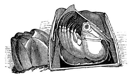 Barnacles, plein, une scission long, cru illustration gravée. La Vie Dans la nature, 1890.