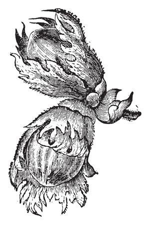 Hazelnuts, 빈티지 새겨진 된 그림입니다. La Vie dans la nature, 1890 일러스트