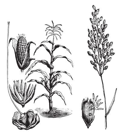 mazorca de maiz: El maíz, el arroz, ilustración de la vendimia grabado. La Vie dans la nature, 1890. Vectores