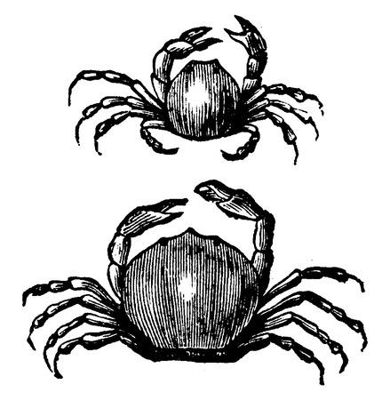 Pea crabe, illustration vintage gravé. La Vie Dans La nature 1890. Vecteurs