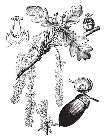 quercus: Oak, vintage engraved illustration. La Vie dans la nature, 1890.