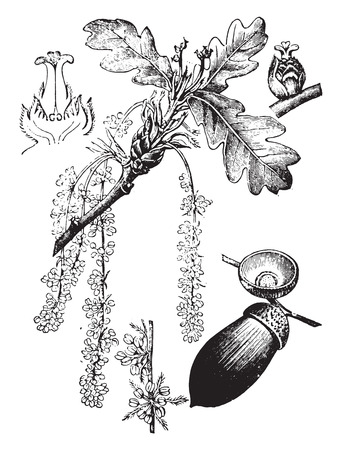 Oak, vintage gegraveerde illustratie. La Vie dans la nature, 1890.