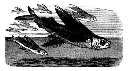 gills: Flying fish in flight, vintage engraved illustration. La Vie dans la nature, 1890.