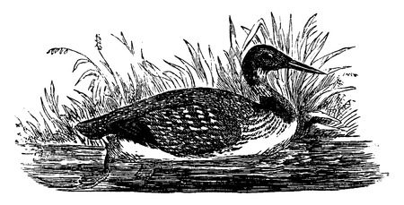 seabird: Loon, vintage engraved illustration. From La Vie dans la nature, 1890.
