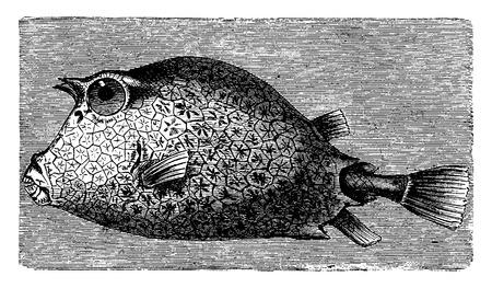 ichthyology: Trunkfish, vintage engraved illustration. La Vie dans la nature, 1890.