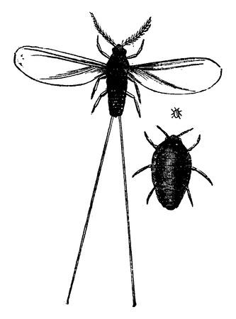 coccus: Cochineal male and female, vintage engraved illustration. La Vie dans la nature, 1890. Illustration