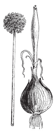 bulb and stem vegetables: Onion, vintage engraved illustration. La Vie dans la nature, 1890.
