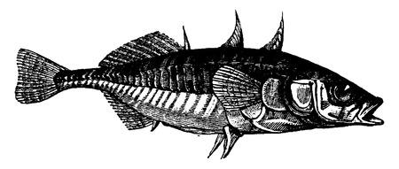 black fish: Stickleback, vintage engraved illustration. La Vie dans la nature, 1890. Illustration