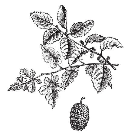 Mulberry, vintage engraved illustration. La Vie dans la nature, 1890.
