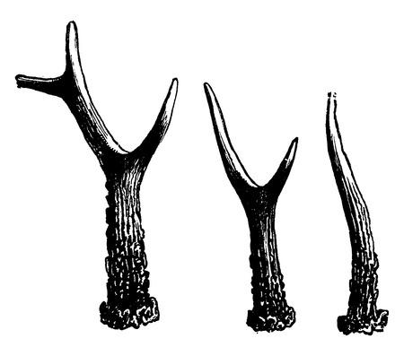 Formes successives prises par les bois d'un cerf, millésime gravé illustration. La Vie Dans La nature 1890. Banque d'images - 41784623