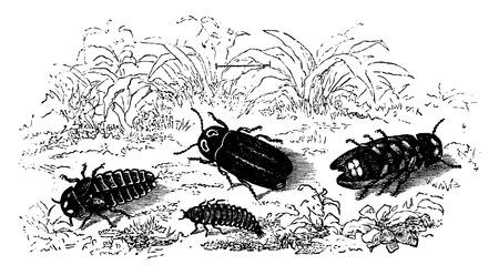 larva: Glow-worms, Male, Female, Larva, vintage engraved illustration. La Vie dans la nature, 1890.