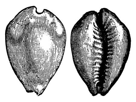 invertebrate: Cypraea (Cypraea moneta), vintage engraved illustration. La Vie dans la nature, 1890.