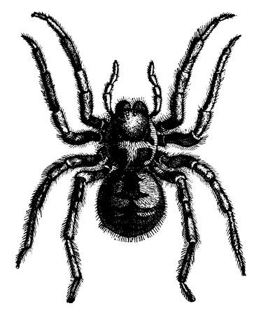 Tarantula, vintage engraved illustration. La Vie dans la nature, 1890.