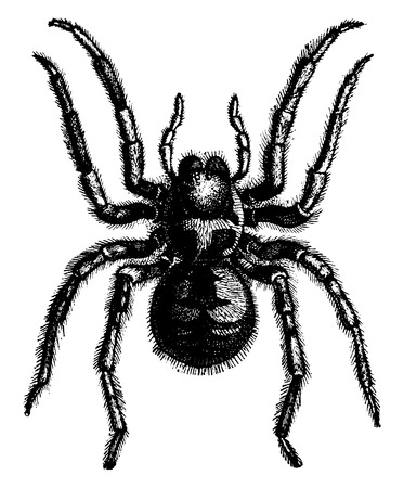 tarantula: Tarantula, vintage engraved illustration. La Vie dans la nature, 1890.