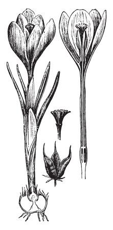 saffron: Saffron, vintage engraved illustration. La Vie dans la nature, 1890.