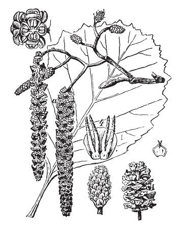 alder: Alder, vintage engraved illustration. La Vie dans la nature, 1890.