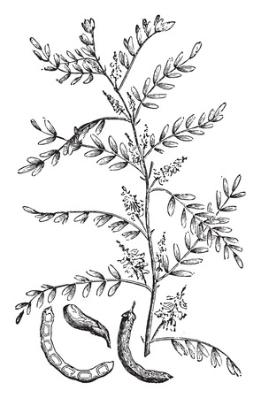 Fabaceae: Indigo, vintage engraved illustration. La Vie dans la nature, 1890. Illustration