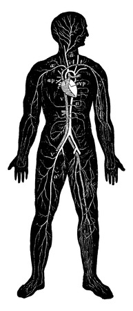 piernas hombre: Información general sobre el sistema circulatorio del hombre, vintage grabado ilustración. La Vie dans la nature, 1890. Vectores