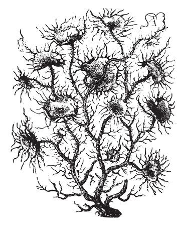 Usnea, vintage engraved illustration. La Vie dans la nature, 1890.