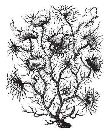 moss: Usnea, vintage engraved illustration. La Vie dans la nature, 1890.