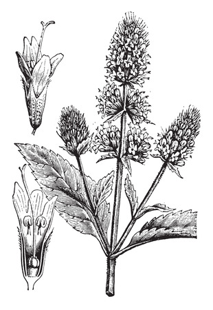 perennial: Peppermint, vintage engraved illustration. La Vie dans la nature, 1890.