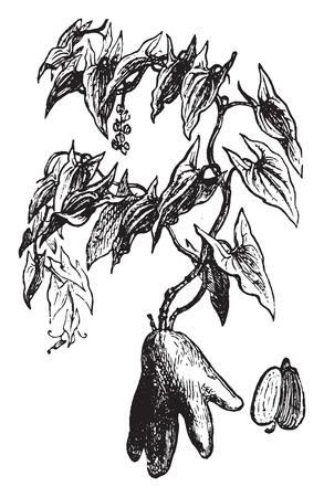 species of creeper: Dioscorea winged, vintage engraved illustration. La Vie dans la nature, 1890.
