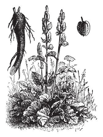 rheum: Rhubarb, vintage engraved illustration. La Vie dans la nature, 1890.