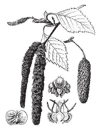 fagaceae: Birch, vintage engraved illustration. La Vie dans la nature, 1890.