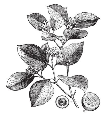 nut: Poison nut, vintage engraved illustration. La Vie dans la nature, 1890.